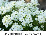Little White Saxifrage Flowers...