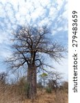 Small photo of Lonely old baobab tree (Adansonia digitata)) - Namibia, South-West Africa against blue sky