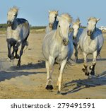 running white horses of... | Shutterstock . vector #279491591