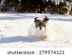 White Furry Shih Tzu Mix Dog...