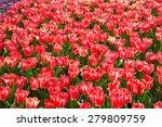 Fields Of Tulips In Keukenhof...