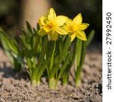 Jonquile. A Bulbous Plant Of...