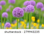 Purple Allium Flowers  Field...