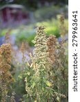Small photo of Flower - Quinoa - Chenopodium quinoa - 'Campesino' - Amaranthaceae
