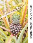 pineapple growing on pineapple... | Shutterstock . vector #279970031