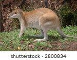 A Cute Crouching Kangaroo