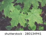 Young Spring Maple Tree Leaves...