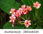 pink  plumeria flowers... | Shutterstock . vector #280168334