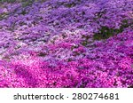 Pink And Purple Moss Phlox...