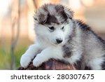 Cute Puppy Of Alaskan Malamute...
