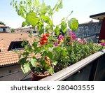 Red Tomato Plant In The Balcon...