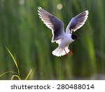 The Little Gull  Larus Minutus  ...