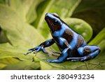 Blue Poison Dart Frog ...