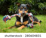 Stock photo cute tricolour kelpie dog an australian breed of sheep dog lying on grass holding a colourful 280604831