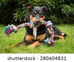 Cute Tricolour Kelpie Dog  An...