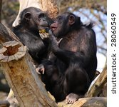 Two Adult Chimpanzees Diner An...