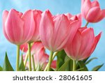 Beautiful pink tulips with blue sky background.  Shallow dof with selective focus on closest tulip. - stock photo