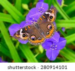A Common Buckeye Butterfly ...