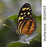 Large Tiger Monarch Butterfly ...