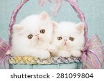 Stock photo white persian kittens sitting inside blue and lilac basket decorated with ribbons and bows on mint 281099804