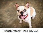 Stock photo my cute dog the french bulldog 281137961