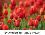unusual tender tulip spring... | Shutterstock . vector #281149604