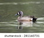 Male Blue Winged Teal Swimming...