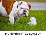 Stock photo english bulldog dog and white kitten 281206607