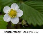 wild strawberry flower with... | Shutterstock . vector #281241617