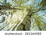 birch forest  abstract natural... | Shutterstock . vector #281264585