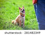 Shiba Inu Pay Attention To His...
