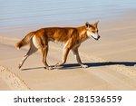 Dingo Is Endangered In Australia