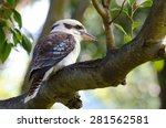 Laughing Kookaburra Sitting In...