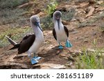Pair Of Blue Footed Boobies...