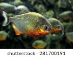 tropical piranha fishes  in a... | Shutterstock . vector #281700191
