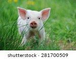 Piglet On Spring Green Grass O...