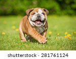 Stock photo funny english bulldog puppy playing in the park 281761124