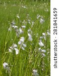 Small photo of Flowering Common Cottongrass at the meadow
