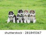 Four Siberian Husky Puppies...