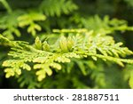 Evergreen Branch Of A Thuja...