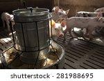 small pigs in the farm   Shutterstock . vector #281988695