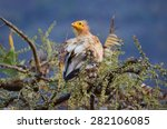 Egyptian Vulture  Neophron...