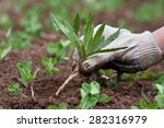 weeding in the vegetable garden ... | Shutterstock . vector #282316979