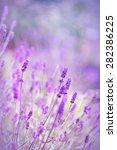 beautiful lavender flowers  | Shutterstock . vector #282386225