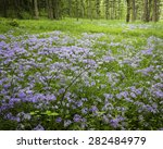 Wild Phlox Carpets A Woodland...