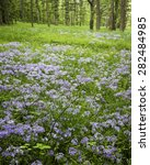 Small photo of Wild phlox carpets a woodland meadow at The Morton Arboretum in Lisle, Illinois.