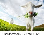 Close Up Shot Of The Goat With...