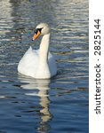 Elegant white swan with clear water reflection. - stock photo