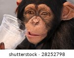 Chimpanzee Drinking From A...