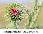 Burdock Thorny Flower.  Arctiu...
